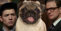 """The adorable pug from """"Kingsman: The Secret Service"""" A pug and Colin Firth--be still my beating heart! And the pug is named """"JB"""" for Jack Bauer. I love it!"""