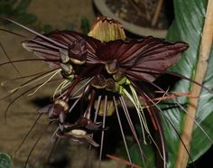 this is one of the COOLEST flowers I have seen. The black bat-(also comes in white. Bat Flower, Flower Show, Black Bat, Garden Pictures, Amazing Flowers, Dandelion, Landscaping, Decorating Ideas, Gardening