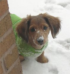 .miniature long haired dachshund...my next dog.