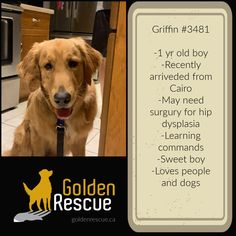 AVAILABLE FOR ADOPTION ~ GRIFFIN #3481 To read more about Griffin, please visit his page on our website by clicking the link. If you would like more information about Griffin please call our hot-line toll free at 1-866-712-8444 or email adoption@goldenrescue.ca and one of our volunteers will be happy to return your call. #adoptdontshop #goldenretriever #rescuedog #rescued #goldenrescue Old Boys, Love People, Volunteers, Rescue Dogs, Adoption, Website, Reading, Link, Hot