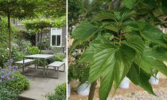 Pleached mulberry trees del Buono Gazerwitz ; Gardenista