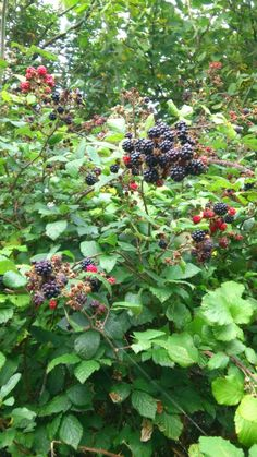 Picking blackberries....blackberry jelly and apple and blackberry crumble....ummmm!