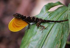 Anolis polylepis — Wikipédia Iguana Pet, Convergent Evolution, Little Brown, Pets, Animals, Entertaining, Group, Watch, Animales