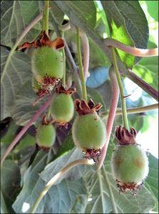 Kivi termesztése magyarországon - 1. rész Kiwi, Toms, Fruit, Garden, Plants, Figs, The Fruit, Lawn And Garden, Gardens