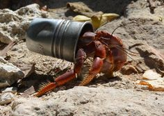 hermit crab shell - Google Search