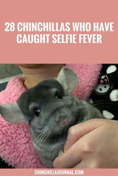 28 Chinchillas Who Have Caught Selfie Fever