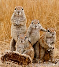 SOUTH AFRICAN or CAPE GROUND SQUIRREL Xerus inauris family group in humourous anthropomorphic pose Etosha NP, Namibia, Africa - Your Fun Pics