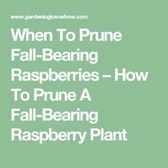 When To Prune Fall-Bearing Raspberries – How To Prune A Fall-Bearing Raspberry Plant