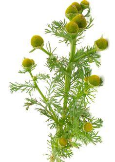 Villiyrtit ja villivihannekset – vinkit keräämiseen ja käyttöön | Meillä kotona Remedies, Garden, Plants, Food, Smoothie, Retro, Vegetable Garden, Garten, Home Remedies