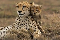 Stunning Pictures of Cheetahs in Action Rare Animals, Cute Baby Animals, Animals And Pets, Wild Animals, Beautiful Cats, Animals Beautiful, Big Cats, Cute Cats, Cheetah Photos