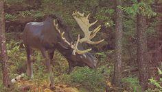 Bull Moose at Bronnum s Animaland-Trans Canada Highway,Sussex,N.B.,Canada