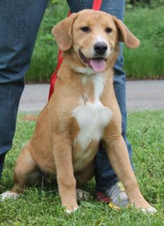 Meet Mollie 22244, a Petfinder adoptable Labrador Retriever Dog | Prattville, AL | Mollie is a 6-month-old female Lab mix. She is tan with white markings and a good looking gal!...