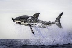 Photo of the Day A great white shark leaps out of the water clutching a decoy seal in its jaws. The picture of the shark hovering in mid-air above the water was taken by Dana Allen in False Bay, off. Pictures Of The Week, Cool Pictures, Cool Photos, Funny Pictures, The Great White, Great White Shark, Shark Photos, Pictures Of Sharks, Le Zoo