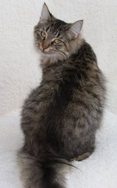 Norwegian Forest Cat - Brown Mackerel Tabby showing line along spine.