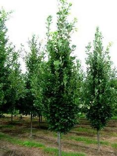Columnar buckthorn rhamnus 39 fine line 39 mary m for Tall thin trees for small gardens