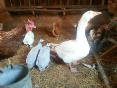A goose, guineas and a photo bombing chicken