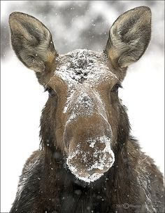 "This moose says ""Who threw that snowball""."
