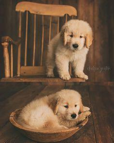 "8 Weeks Old. Goldpaw's Chips Ahoy Matey ""BRIER"" Golden Retriever puppy"