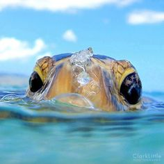 Take a breath By: Clark Little www.clarklittlephotography.com via Diving & Photography FB     (Sea Turtle)