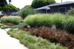 "Privacy with a grassy front garden rather than grass: layers of Miscanthus sinensis ""Gracillimus"" Maiden grass (tallest grass in back), Phormium tenax ""Jack Spratt"" (purple shrub), carex praegracilis Field sedge (low grass near sidewalk). Bushes And Shrubs, Garden Shrubs, Landscaping Plants, Front Yard Landscaping, Garden Plants, Miscanthus Sinensis Gracillimus, Stipa, Fountain Grass, Splendour In The Grass"