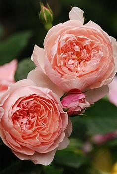 'Alnwick' David Austin ~ rose