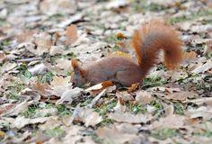 Orava varastoi talvea varten tammen terhoja muun muassa maahan. Bird, Animals, Pray, Peda, Red Squirrel, Animales, Animaux, Birds, Animal