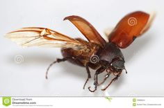 Fly Beetle Stock Images - Image: 10968554