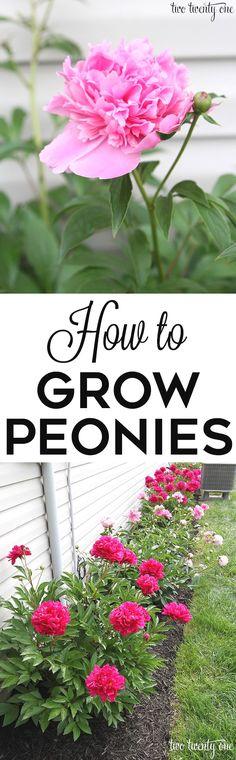 GREAT tips on how to grow peonies! http://twotwentyone.net/growing-peonies/ #flowergardening