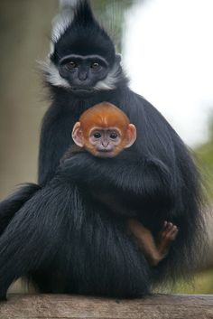 Francois' Langur baby: Spending lots of time with his sister, Kim, at SF Zoo | Flickr - Photo Sharing!