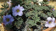 Oxalis laciniata 'Julia Jonson'