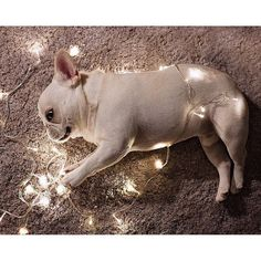 The best little helper there ever was. French Bulldog, #fairylights #christmas2015