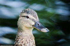 Mother duck by glenn bemont on 500px