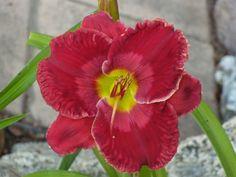 Daylily, Hemerocallis 'Fabulous Frieda' (Kirchhoff, 2007)