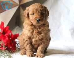 This is the dearest Mini Goldendoodle puppy that you will ever meet! This baby loves Goldendoodle Miniature, Miniature Puppies, Goldendoodle Puppy For Sale, Baby Puppies For Sale, Cute Puppies, Dogs And Puppies, Doggies, Cute Puppy Photos, Dog Boarding