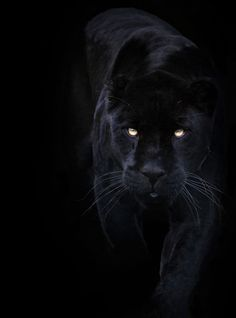 Negro sobre negro ¿Dónde está la pantera? ||Black on Black!