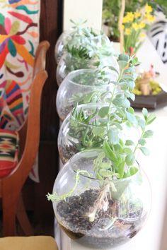 fishbowls of succulents
