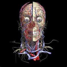 Web Anatomy from University of Minnesota - Cardiovascular System Human Head, Human Body, Gross Anatomy, Body Anatomy, Stress Factors, Benefits Of Running, Treadmill Workouts, Circulatory System, News Health