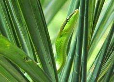 Red tailed racer aka red tailed green rat snake Gunung Leuser National Park, National Parks, Rat Snake, Rats, Green