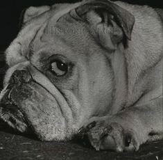 "1942 Press Photo English Bulldog dog giving ""the eye"". Pinned by Judi Crowe."