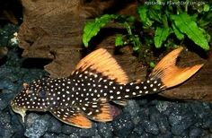 "L014, Sunshine Pleco, Goldie Pleco - Scobinancistrus aureatus 10"" MAX, retains color into adulthood! <3 55gallon CONTENDER!?"