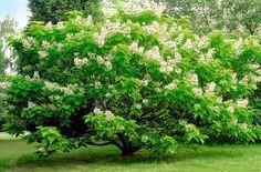 Gewöhnlicher Trompetenbaum (Catalpa bignonioides) vertreibt Mücken