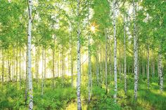 This large-scale birch tree mural is simply stunning. The sun-drenched woodland scene features a canopy of lush ferns and a bed of bright green grass. Birch Tree Mural, Tree Wall Murals, Birch Trees, Photo Wallpaper, Of Wallpaper, Forest Wallpaper, Wallpaper Lounge, Office Wallpaper, Wallpaper Direct