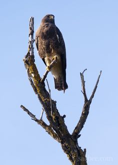 A Swainson's Hawk finds a perch on a dead tree off of Bayou Road in North Natomas. Wednesday, April 18, 2012.
