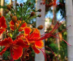 Divagar entre FLORES - ANIMAIS - NATUREZA: 🌼 Caesalpinia Pulcherrima - Flor-de-pavão ou Flamboyanzinho Peacock, Mushrooms, Flowers, Plants, Blog, Purple Flowers, Nature, Animals, Garden