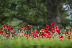 Poppies - Amapolas by Francisco Montes on 500px