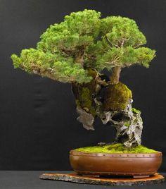 BONSAI TREES / BONSAI STYLES :  More At FOSTERGINGER @ Pinterest