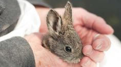 Columbia Basin pygmy rabbits, about the size of a mango, are North America's smallest rabbit species. Thanks to a recovery effort on Nature Conservancy land in Washington, the formerly dwindling species is experiencing a major bounce-back. Photo © Hannah Letinich