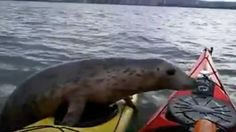 A kayaker in Scotland gets a surprise when a wild seal jumps up onto his kayak.
