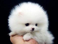 たんぽぽ犬!dandi lion pom