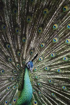 fantastic photo of a peacock by louise docker